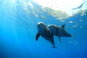 Mikurajima Island: Swim with Wild Dolphins in Tokyo!