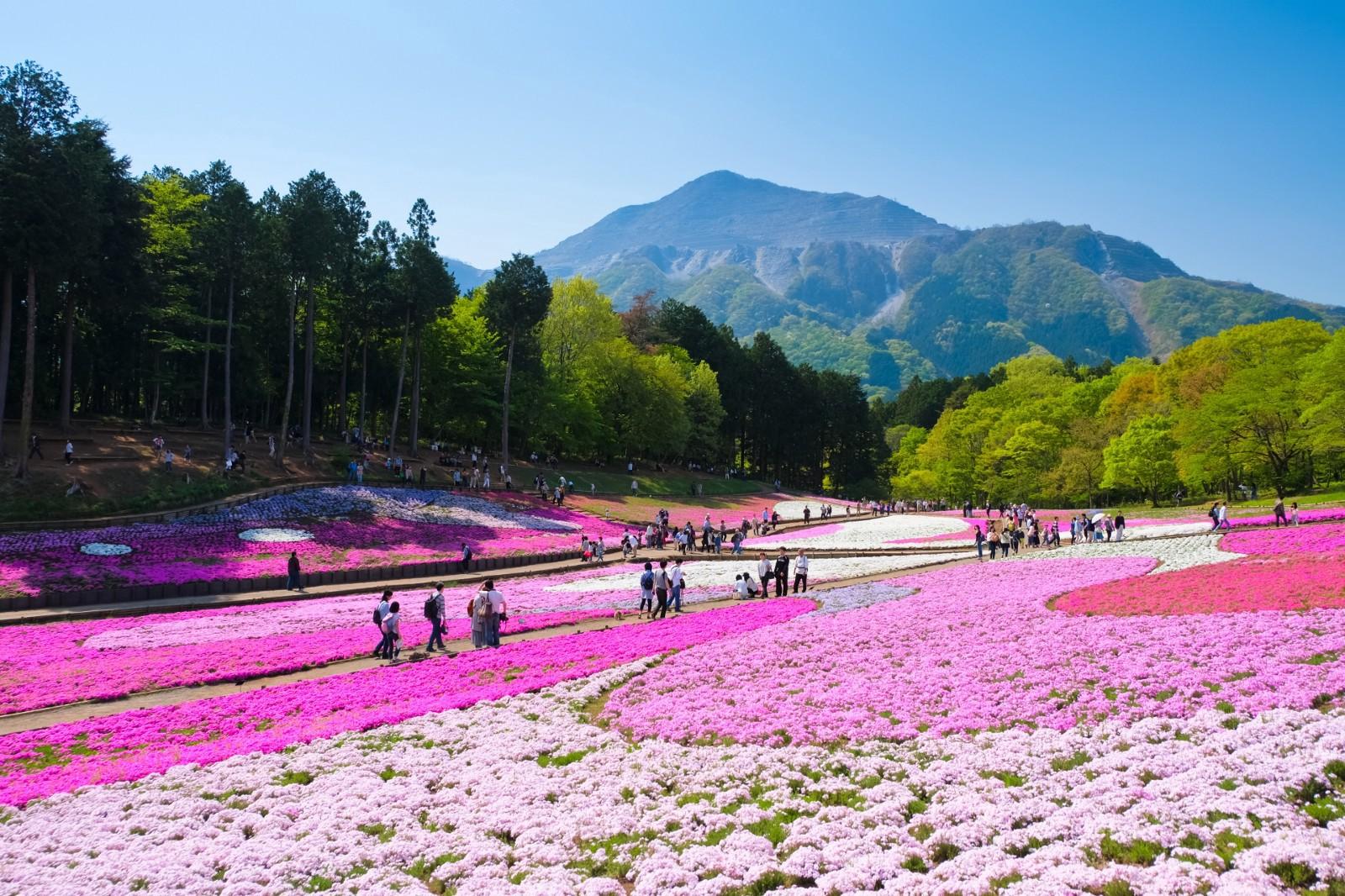 Cherry blossoms at Hitsujiyama Park in Chichibu, Saitama