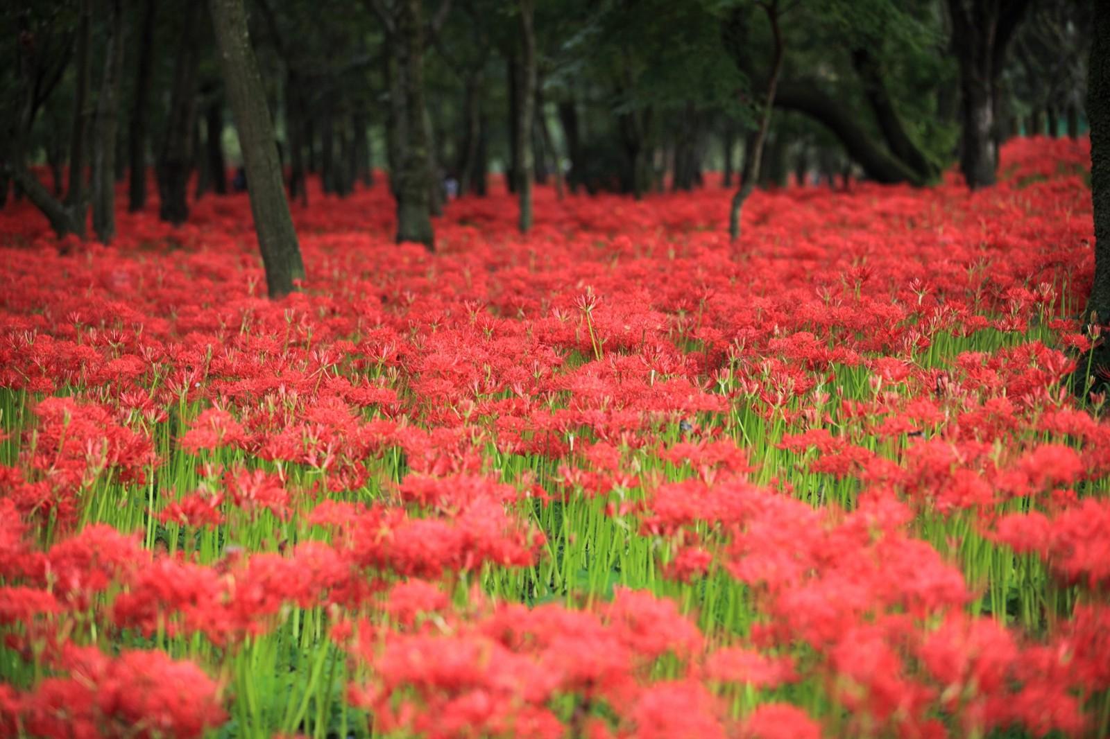 Higanbana flowers at Kinchakuda Higanbana Fields in Saitama