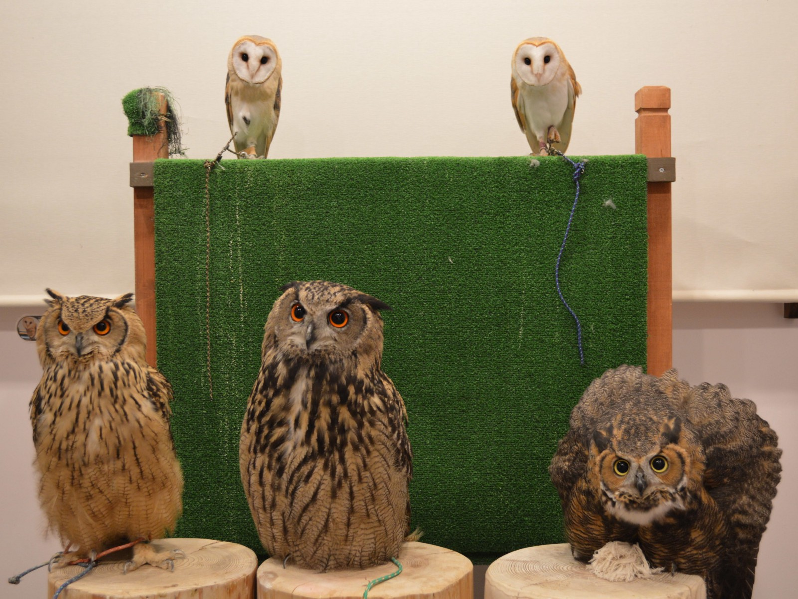 Adorable owls at a owl cafe in Tokyo