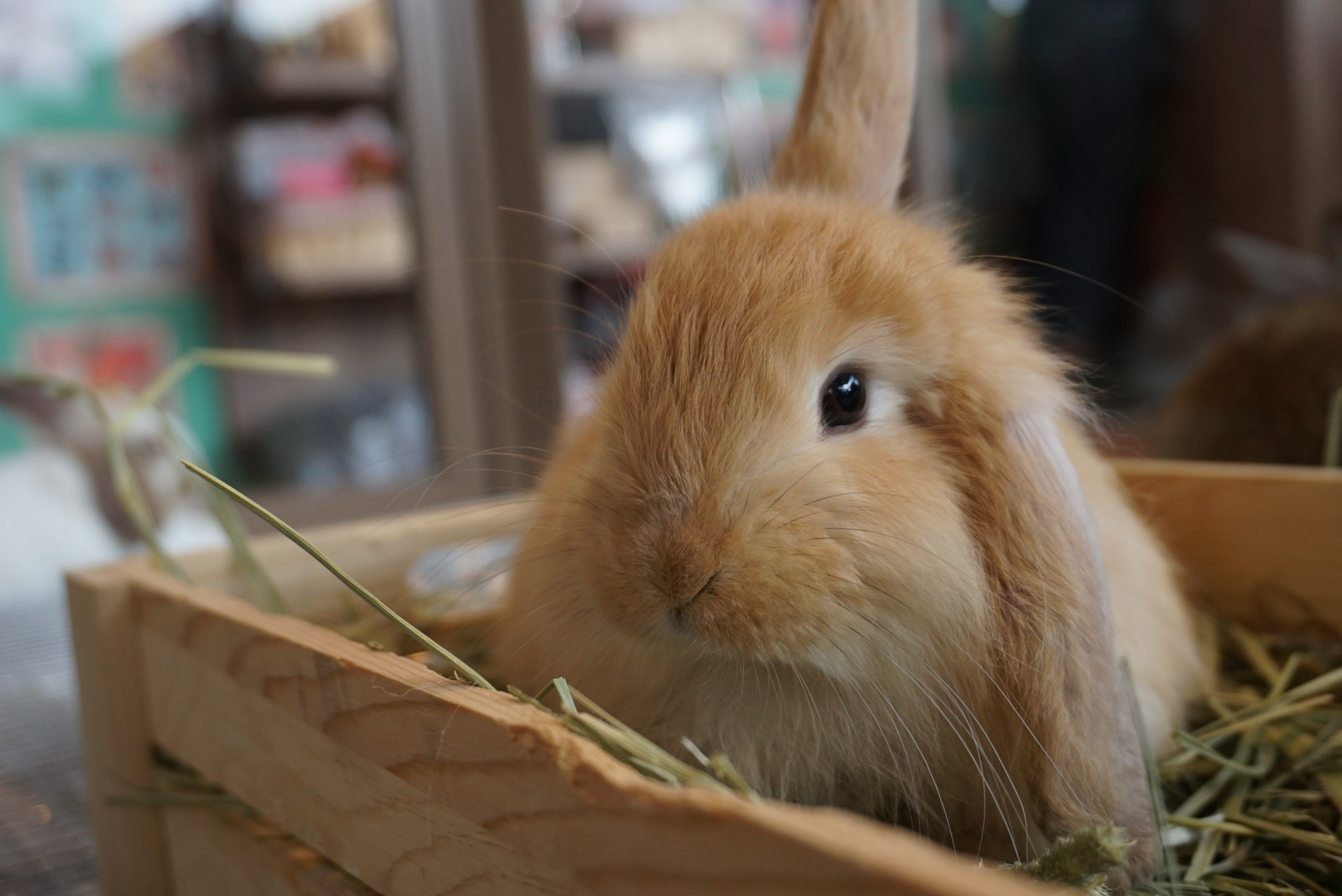 Adorable bunny at a bunny cafe in Tokyo