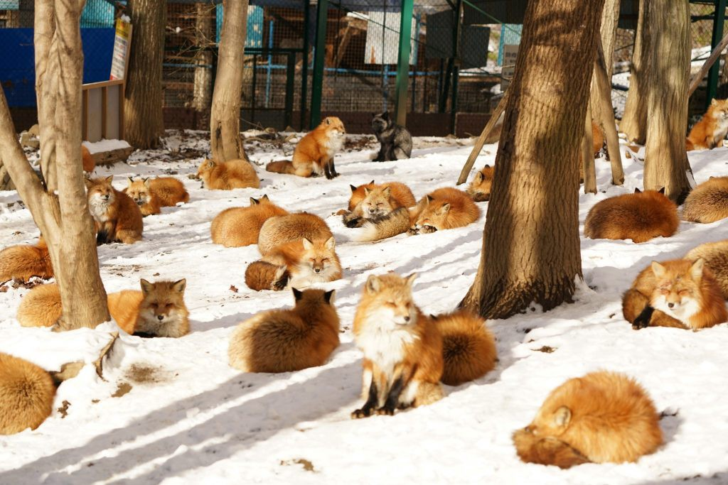 Zao Fox Village: Cutest Fox Heaven in Japan