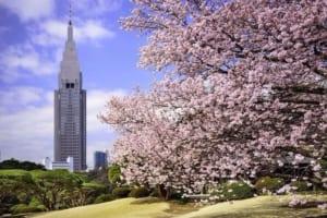 Shinjuku Gyoen Cherry Blossoms