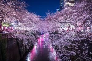Meguro River Cherry Blossoms