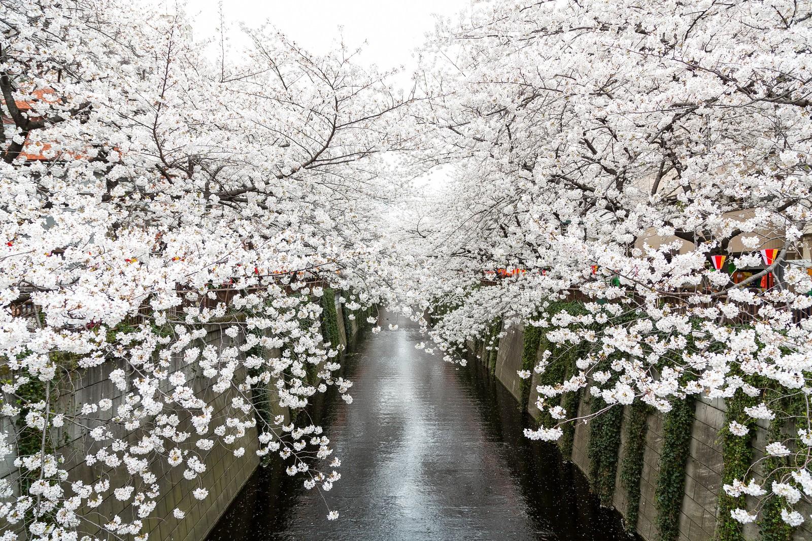 cherry blossom festival 2020 - HD1600×1066