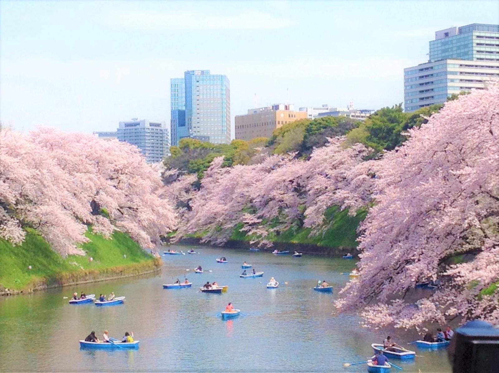 Chidorigafuchi Cherry Blossoms 2021