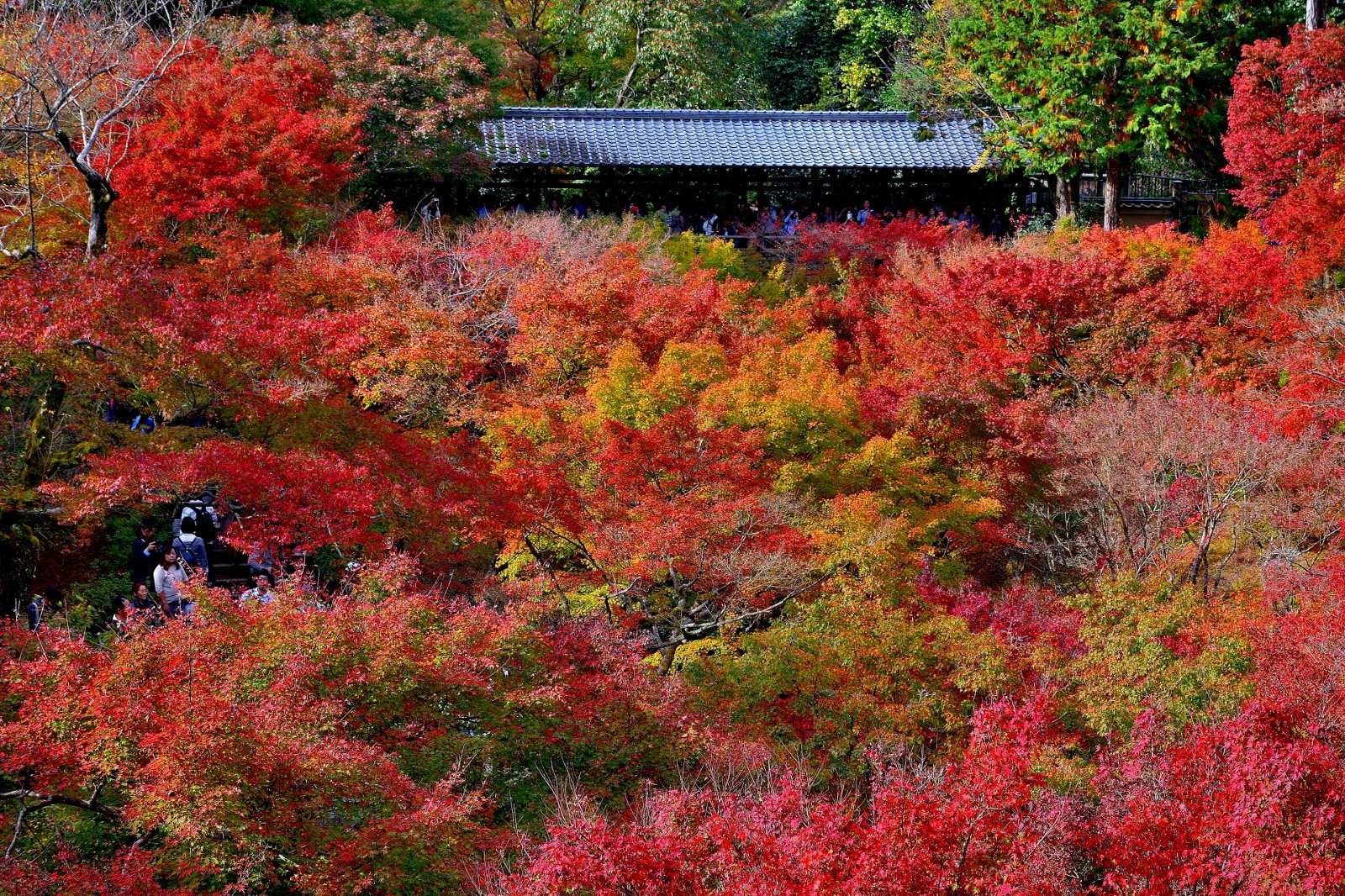 The clouds of coloured autumn leaves at Tofukuji Temple