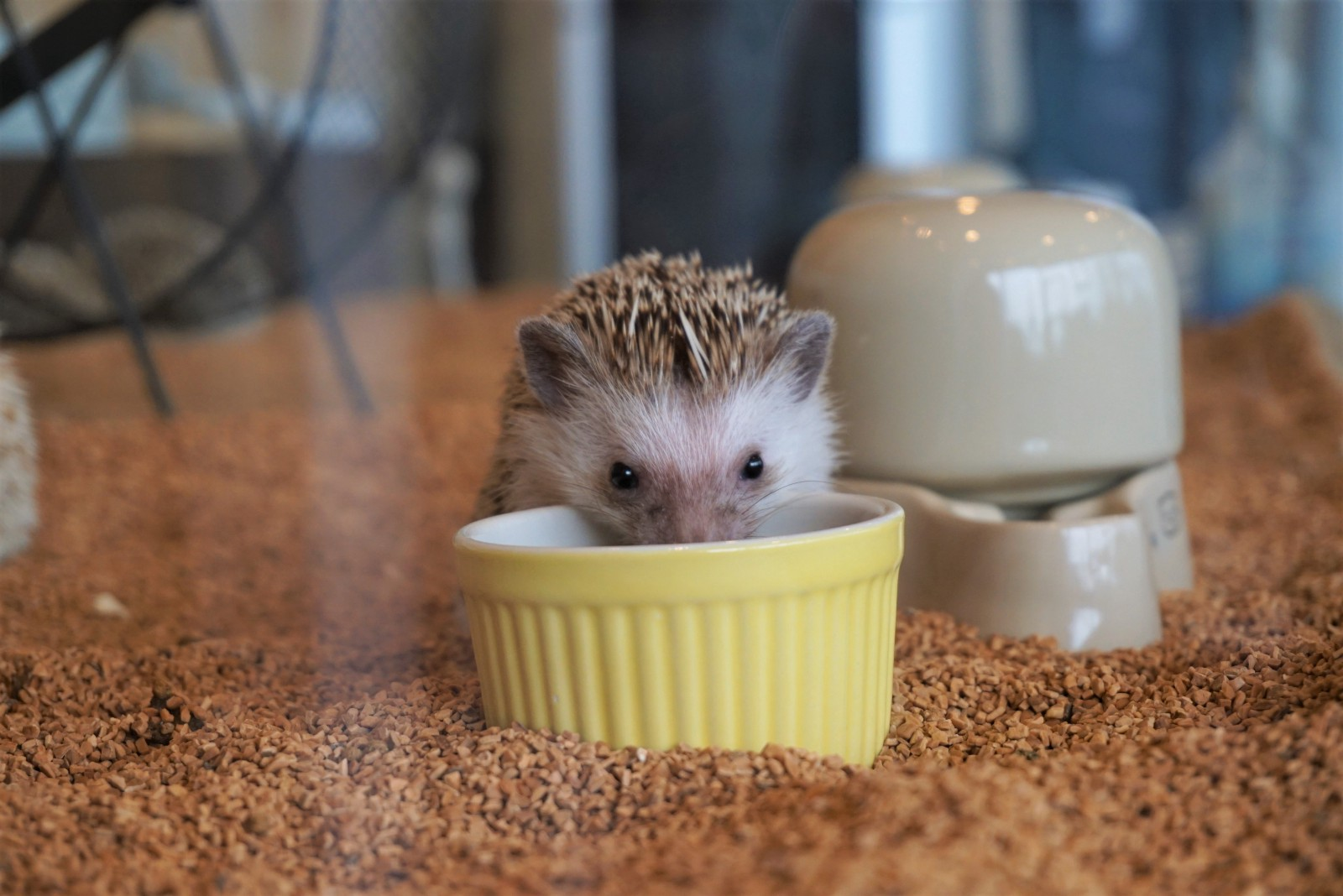 Play with Cute Hedgehogs at a Cafe