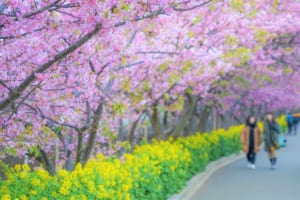 Miura Kaigan Cherry Blossom Festival