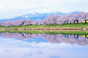 Shiroishi River Cherry Blossoms
