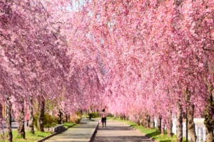 Nicchu Line Weeping Cherry Blossoms