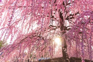 Plum Blossoms in Japan: Best Places to See