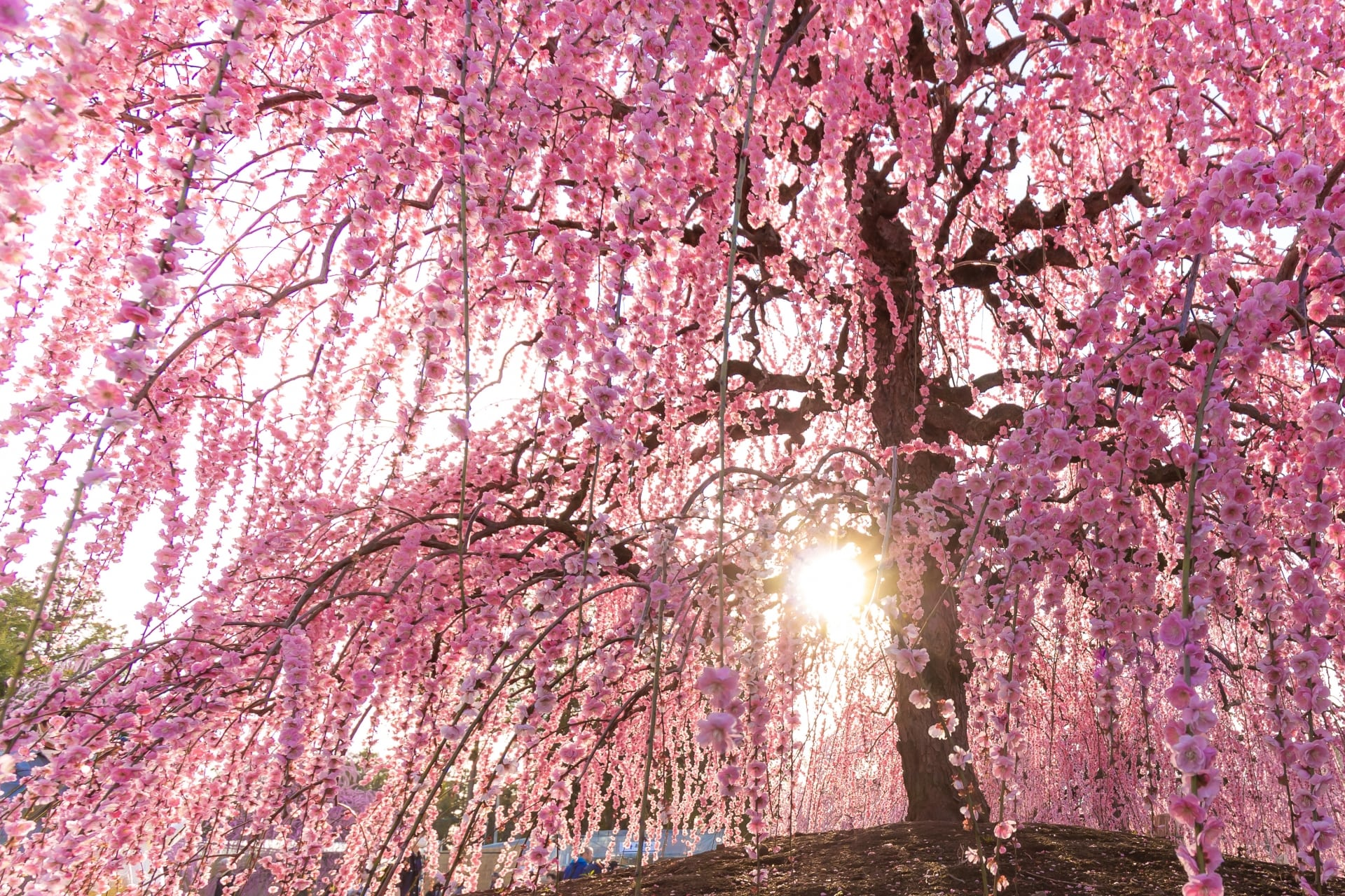 Plum Blossoms in Japan: Best Places to See 2020