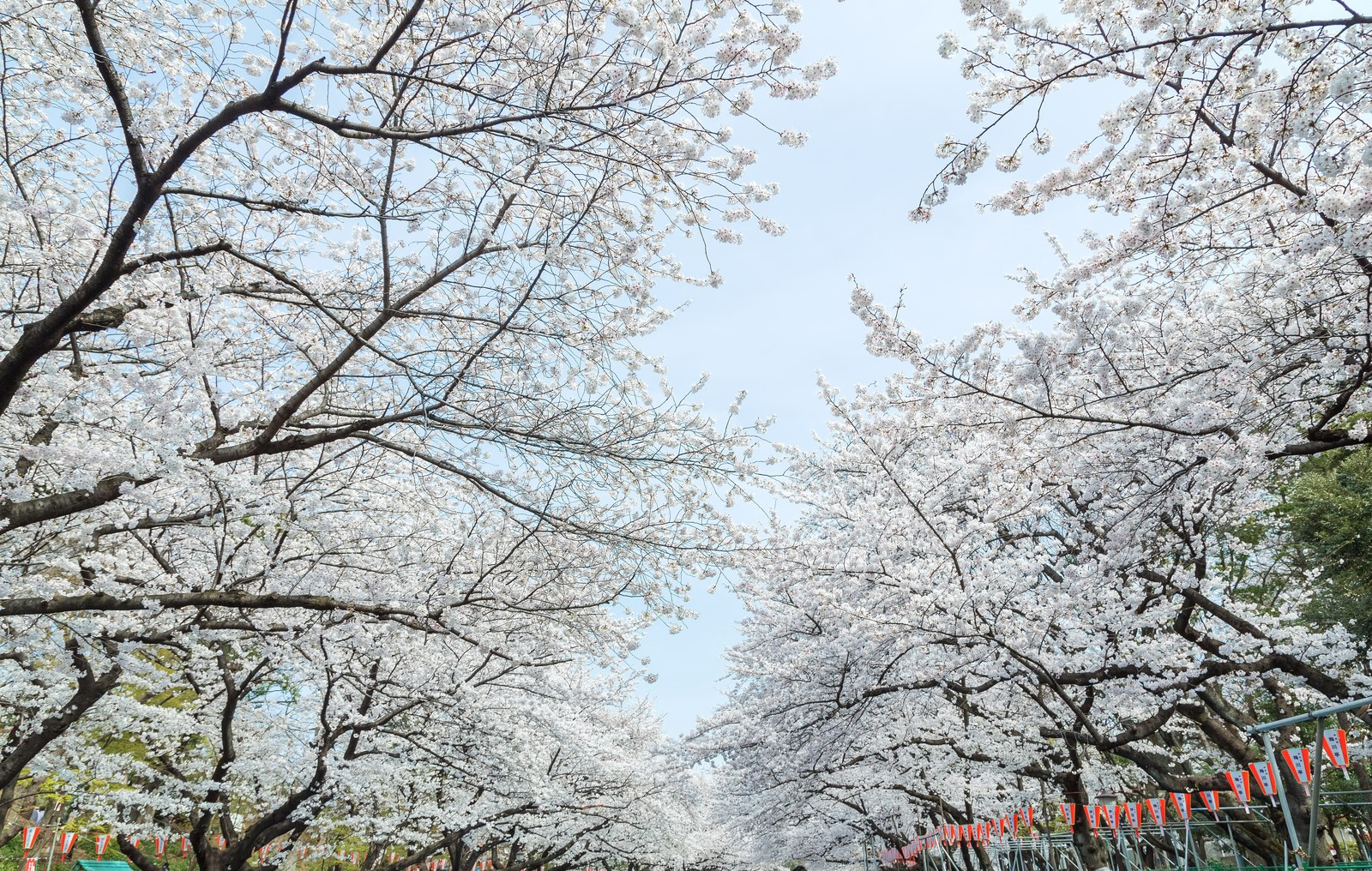 Cherry blossoms blooming at Ueno Park