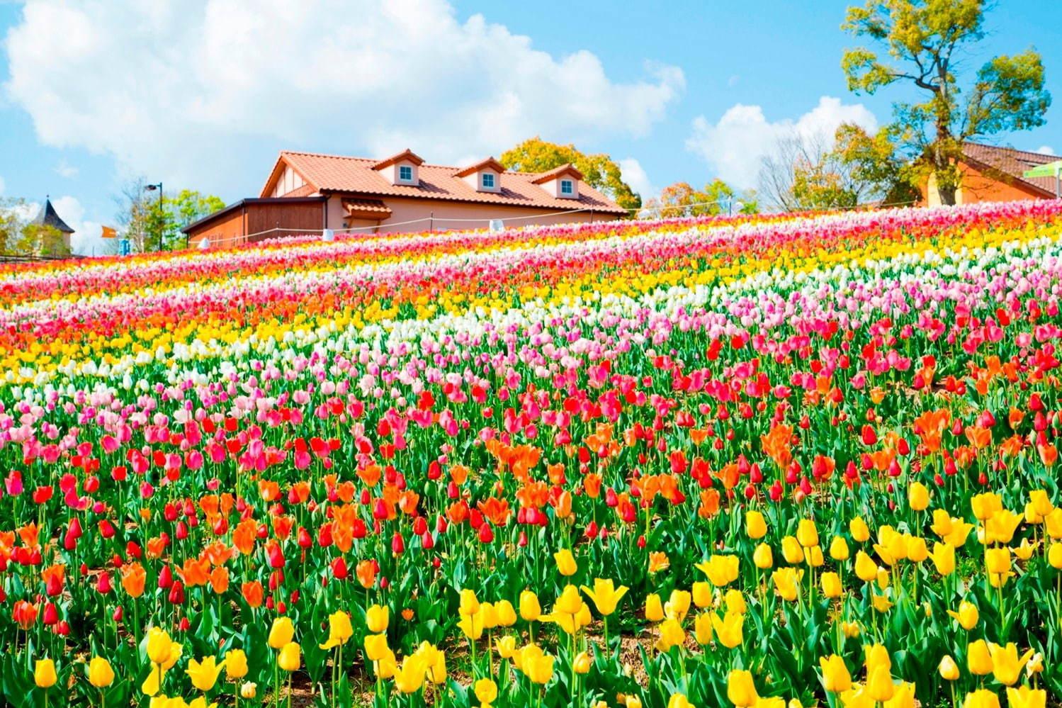 Sakai Tulip Festa 2020 at Harvest Hill inOsaka