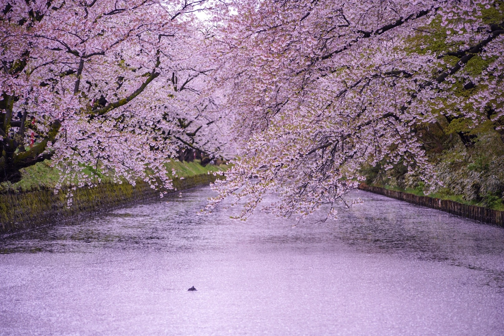 Best Cherry Blossom Spots in Tohoku2020