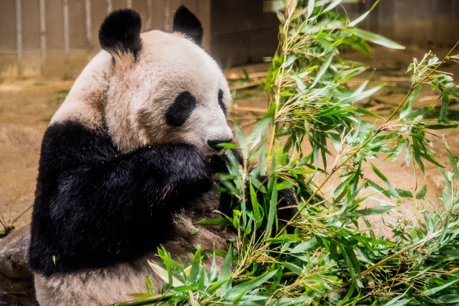 A panda eating bamboo leaves