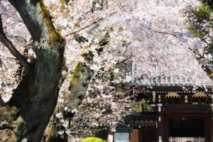 Homyo-ji Temple Cherry Blossoms