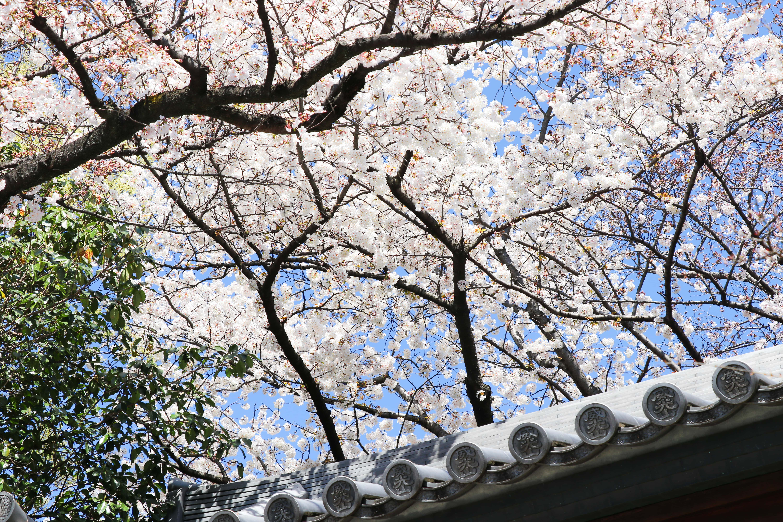 Hōmyō-ji Temple Cherry Blossom