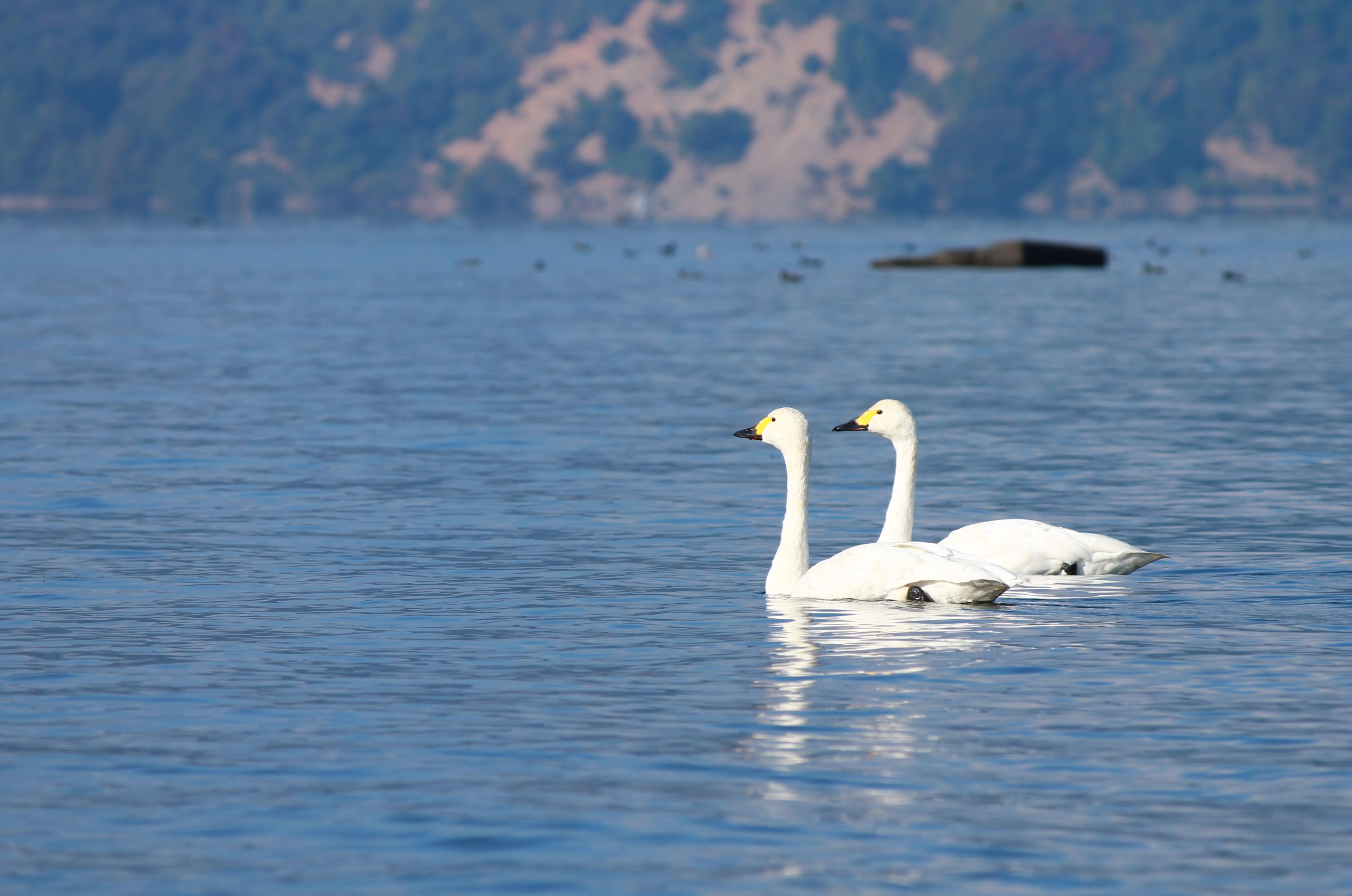 swans at Lake Biwa